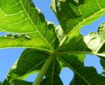 Papaya Blatt Blatt gruen Carica papaya 04