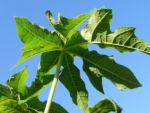 Papaya Blatt Blatt gruen Carica papaya 05