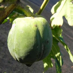 Papaya Blatt Frucht gruen Carica papaya 02
