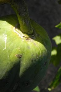 Papaya Blatt Frucht gruen Carica papaya 03