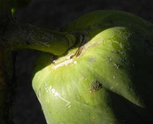 Papaya Blatt Frucht gruen Carica papaya 04