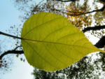 Papier Maulbeerbaum Frucht orange Broussonetia papyrifera 02