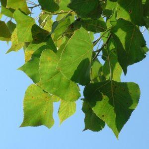 Pappel kanadisch Populus x canadensis 02