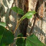 Bild: Kanadische Pappe Populus x canadensis