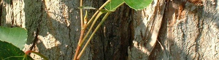 Anklicken um das ganze Bild zu sehen Kanadische Pappe Populus x canadensis