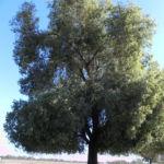 Pappelblättriger Brachychiton Baum Brachychiton populneus
