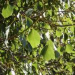 Pappelblättriger Brachychiton Blätter grün Brachychiton populneus