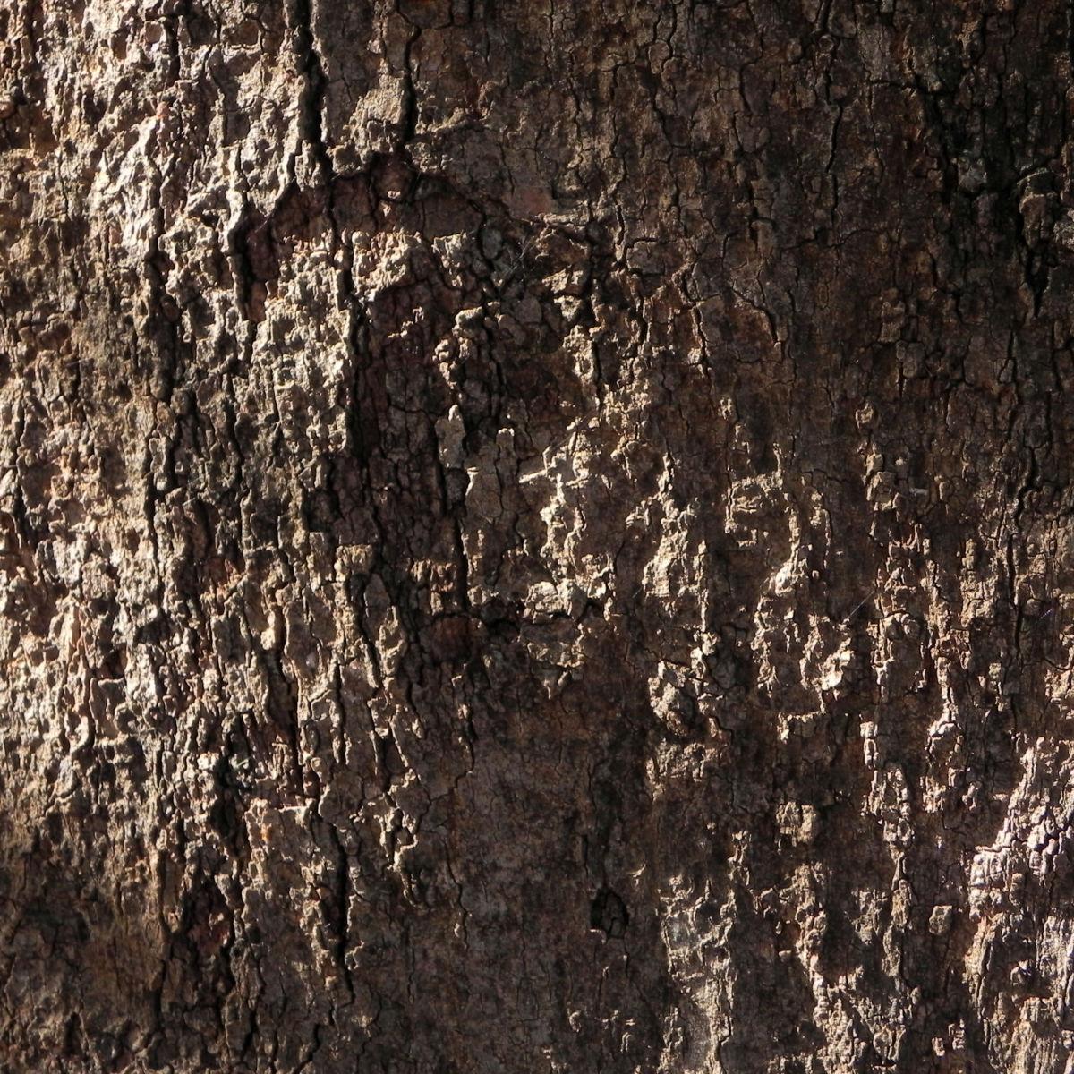 Pappelblättriger Brachychiton Rinde braun Brachychiton populneus