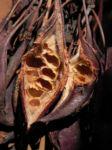 Pappelblättriger Brachychiton Schote rot-braun Brachychiton populneus