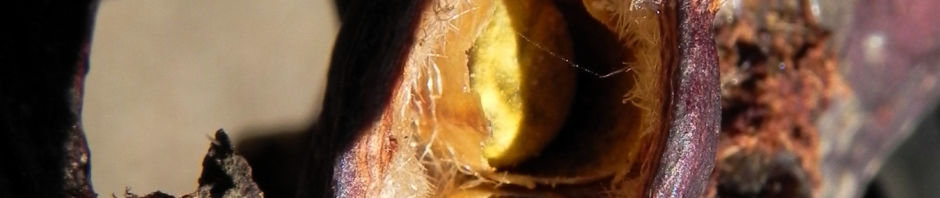 Anklicken um das ganze Bild zu sehen Pappelblättriger Brachychiton Schote rot-braun Brachychiton populneus
