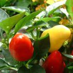 Paprika Chili Capsicum annum 02