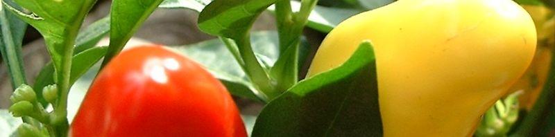 Anklicken um das ganze Bild zu sehen Paprika Chili - Capsicum annum