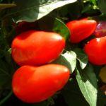 Paprika Chili Capsicum annum 03