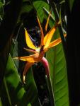 Paradiesvogel Blume Bluete orange Strelitzia reginae 01