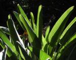 Paradiesvogel Blume Bluete orange Strelitzia reginae 03