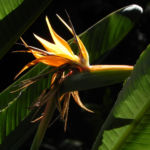 Paradiesvogel Blume Bluete orange Strelitzia reginae 04