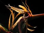 Bild: Paradiesvogelblume Blüte orange Blatt grün Strelitzia reginae