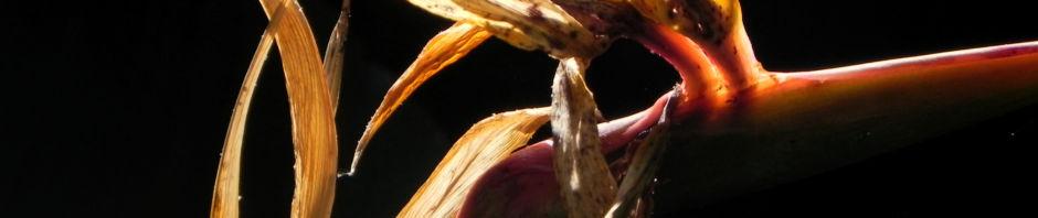 Anklicken um das ganze Bild zu sehen Paradiesvogelblume Blüte orange Blatt grün Strelitzia reginae