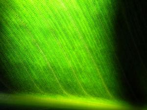 Paradiesvogelblume Blatt gruen Strelitzia reginae 03