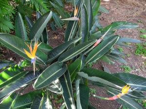 Paradiesvogelblume Staude Strelitzia reginae 01
