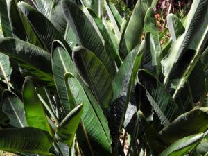 Paradiesvogelblume Staude Strelitzia reginae 03