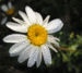 Zurück zum kompletten Bilderset Färber-Hundskamille Blüte weiß Anthemis tinctoria