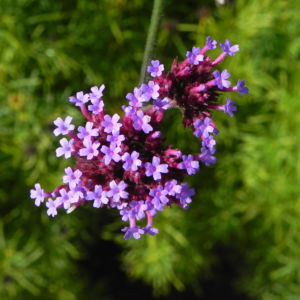 Patagonisches Eisenkraut Bluete lila Verbena bonariensis 24
