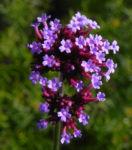 Patagonisches Eisenkraut Bluete lila Verbena bonariensis 25