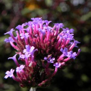 Patagonisches Eisenkraut Bluete lila Verbena bonariensis 26