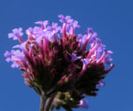 Patagonisches Eisenkraut Bluete lila Verbena bonariensis 27