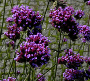 Patagonisches Eisenkraut Bluete lila Verbena bonariensis 32