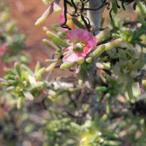 Pearl Bluebush Blatt silber Bluete roetlich Maireana sedifolia 05