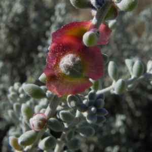 Pearl Bluebush Blatt silber Bluete roetlich Maireana sedifolia 30