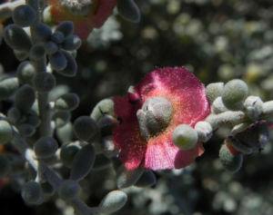 Pearl Bluebush Blatt silber Bluete roetlich Maireana sedifolia 33