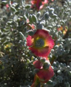 Pearl Bluebush Blatt silber Bluete roetlich Maireana sedifolia 36