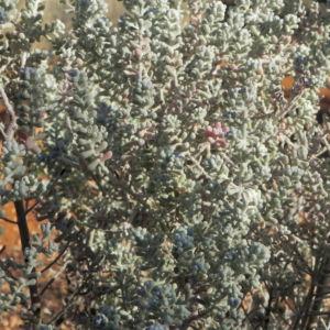 Pearl Bluebush Busch Maireana sedifolia 06