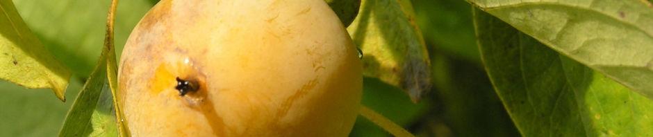 amerikanische-persimone-frucht-gelblich-diospyros-virginiana