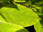 Persimone Baum Frucht gelblich Diospyros virginiana 04