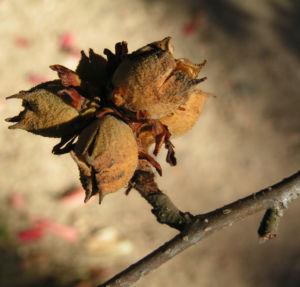 Persische Parrotie Baum Herbst Blatt rot Fruechte braun Parrotia persica 01
