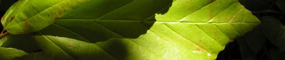 persischer-eisenholzbaum-herbst-blatt-rot-fruechte-braun-parrotia-persica