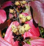 Persische Parrotie Baum Herbst Blatt rot Fruechte braun Parrotia persica 03