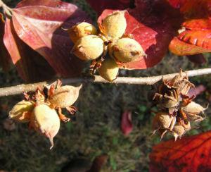 Persische Parrotie Baum Herbst Blatt rot Fruechte braun Parrotia persica 04