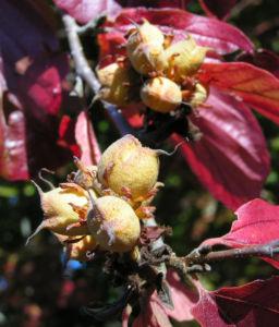 Persische Parrotie Baum Herbst Blatt rot Fruechte braun Parrotia persica 05