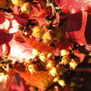 Persische Parrotie Baum Herbst Blatt rot Fruechte braun Parrotia persica 06