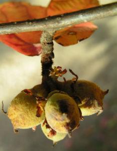 Persische Parrotie Baum Herbst Blatt rot Fruechte braun Parrotia persica 07
