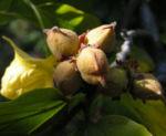 Persische Parrotie Baum Herbst Blatt rot Fruechte braun Parrotia persica 08