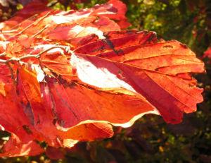 Persische Parrotie Baum Herbst Blatt rot Fruechte braun Parrotia persica 09