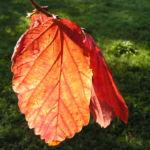 Persische Parrotie Baum Herbst Blatt rot Fruechte braun Parrotia persica 11