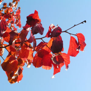 Persische Parrotie Baum Herbst Blatt rot Fruechte braun Parrotia persica 12