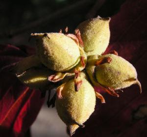 Persische Parrotie Baum Herbst Blatt rot Fruechte braun Parrotia persica 13